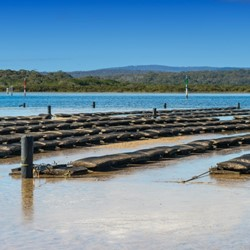 "Aquaculture oyster farming ""off the bottom"""